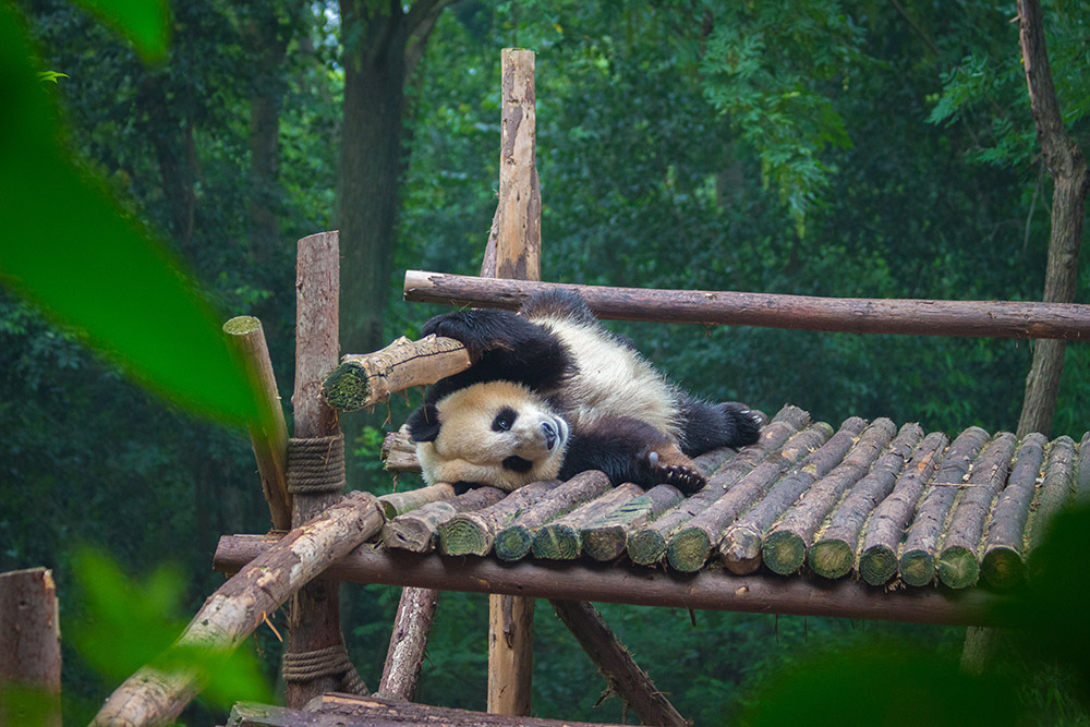 Giant Panda stretching after breakfast