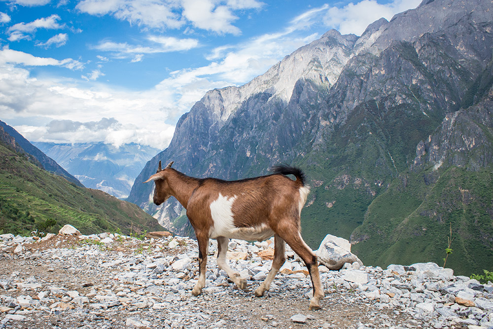 Goat in Tiger Leaping Gorge