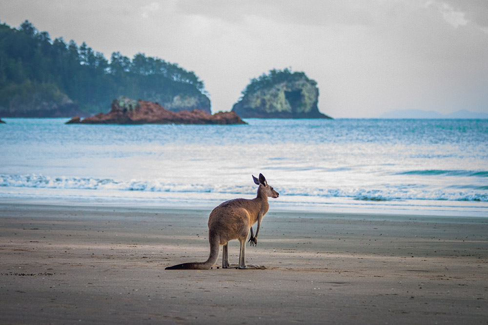 Kangaroo on Beach in Cape Hillsborough