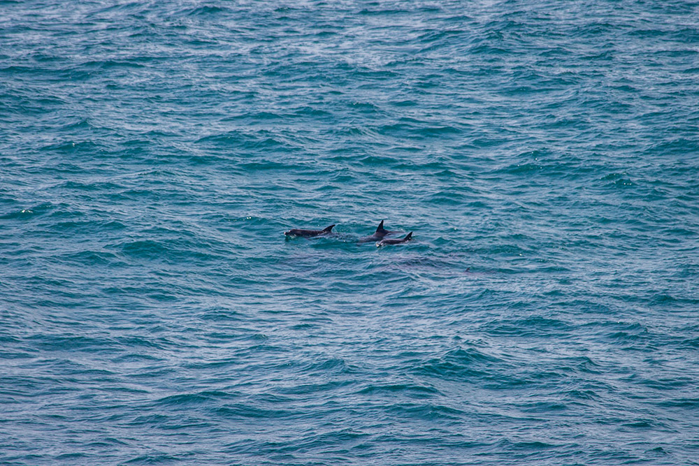 Dolphins swimming before Noosa coast